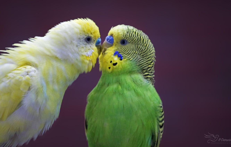 Фото обои любовь, птицы, пара, попугаи