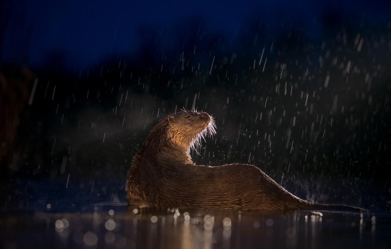 Фото обои вода, свет, ночь, дождь, мокрая, вечер, боке, выдра, выдрочка