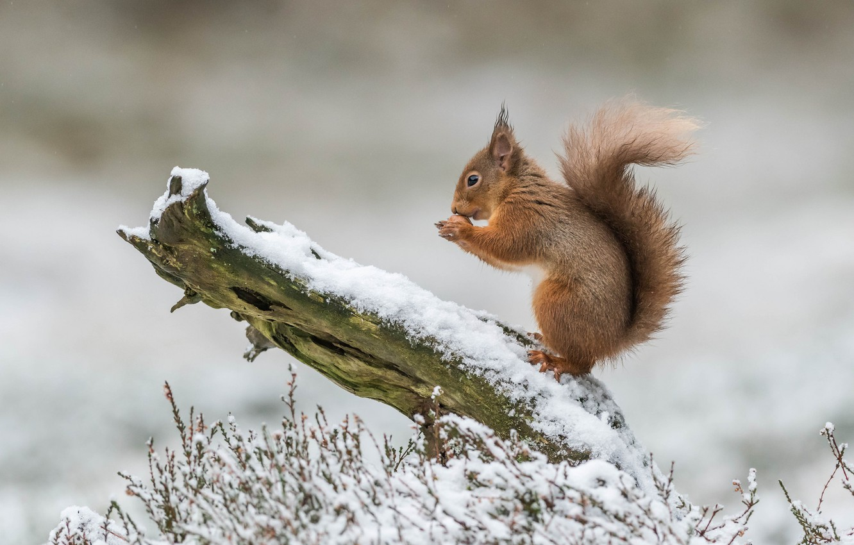 Фото обои зима, трава, снег, природа, дерево, белка