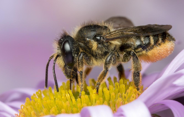 Обои насекомое, цветок, пчела. Макро foto 14