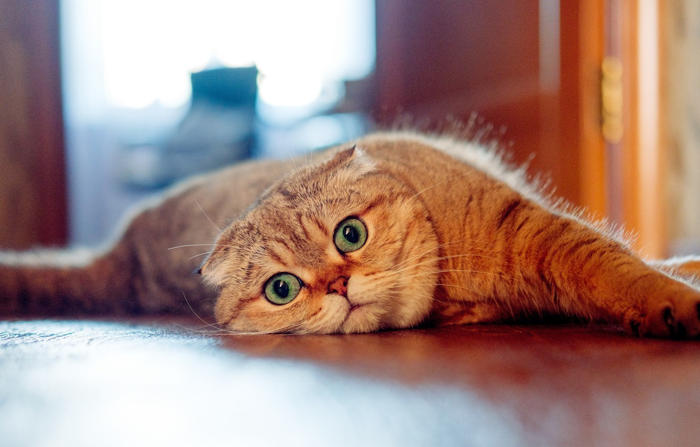 Фото обои кошка, взгляд, мордочка, Шотландская вислоухая кошка