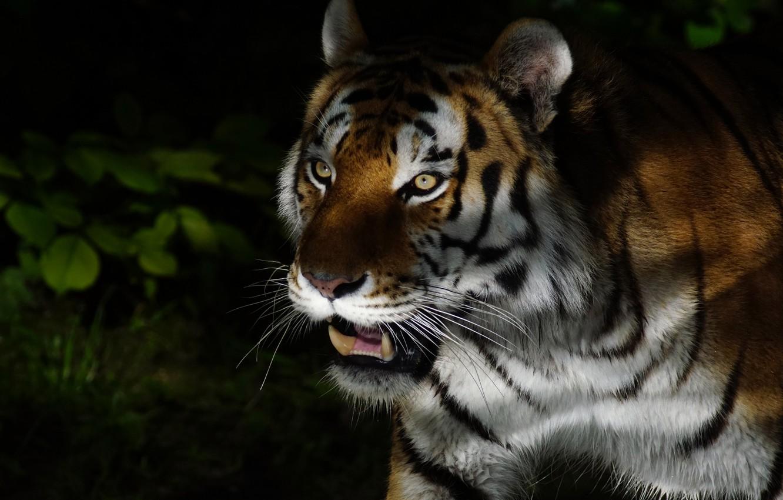 Обои Кошка, tigr, зверь. Кошки foto 17