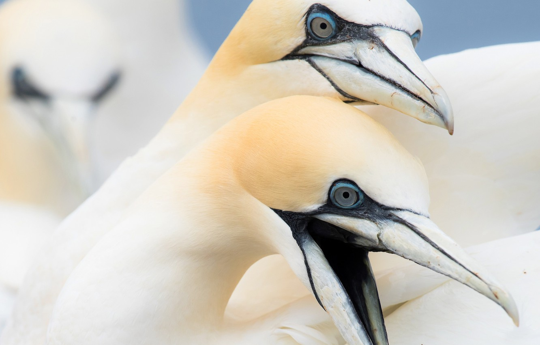 Фото обои птица, клюв, северная олуша