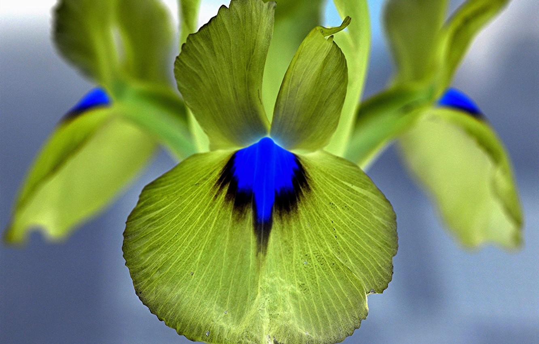 Фото обои цветок, лепестки, ирис