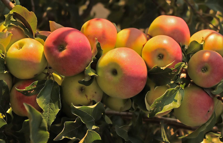 Фото обои ветки, дерево, яблоки, плоды