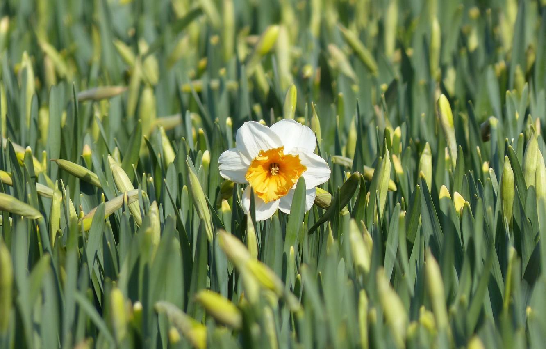 Фото обои цветок, природа, весна, цветение, Нарцисс