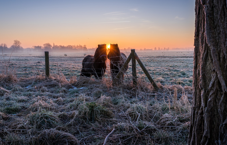 Фото обои зима, иней, поле, трава, солнце, лучи, пейзаж, природа, туман, дерево, рассвет, кони, утро, деревня, лошади, ...