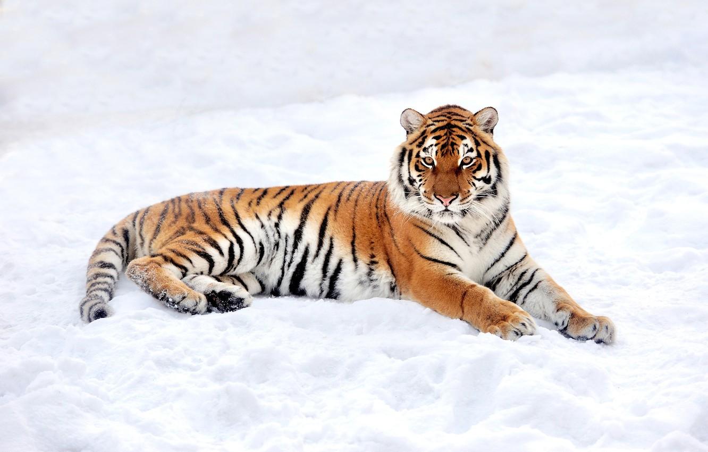 Обои лежит, на снегу, Хищник. Животные foto 10
