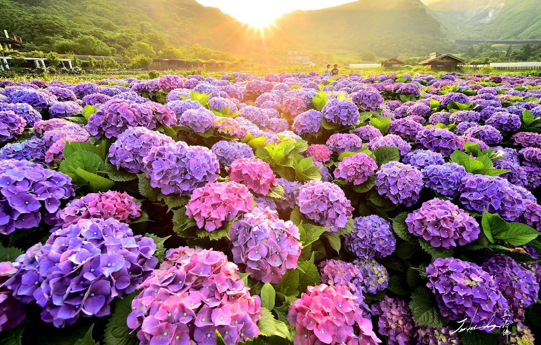 Фото обои поле, лето, природа, кусты, цветущие, гортензия