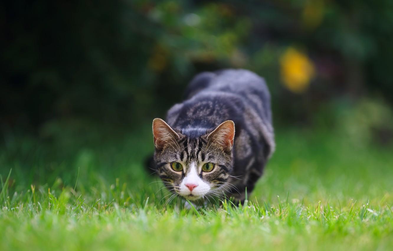 Фото обои кошка, трава, глаза, охота, лужайка