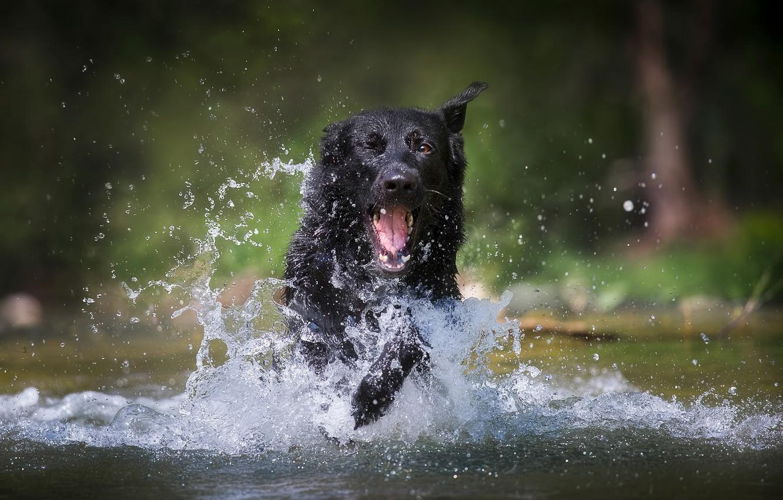 Фото обои вода, радость, брызги, собака, немецкая овчарка