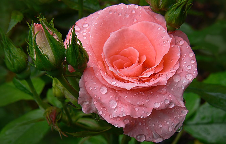 Фото обои капли, роза, сад, бутон