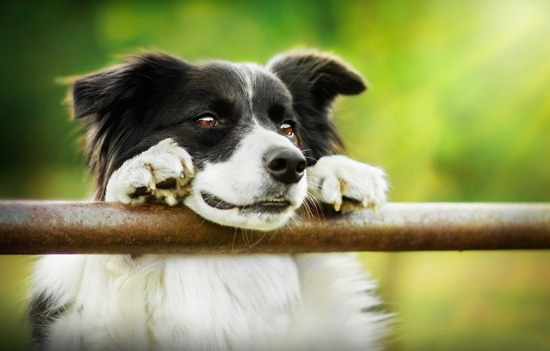 Фото обои морда, собака, Бордер-колли
