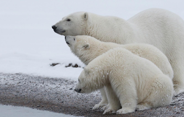 Фото обои зима, животные, белый, снег, природа, берег, медведь, семья, медведи, три, белая, медвежонок, белые, медвежата, белый …