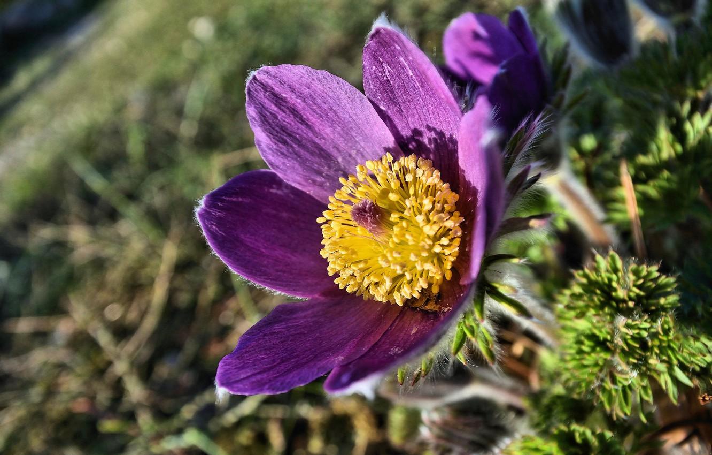Фото обои макро, весна, сон-трава, прострел, анемон