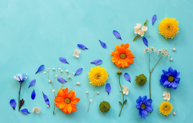 Фото обои цветы, фон, лепестки, хризантемы