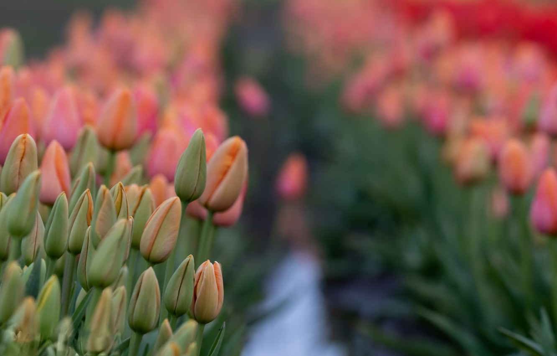 Фото обои лето, цветы, тюльпаны