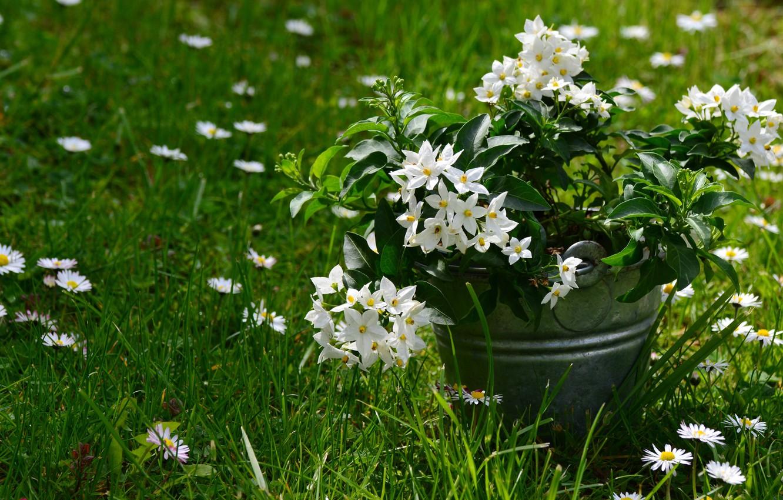 Фото обои трава, цветы, ромашки, ведерко, жасмин, jasmin
