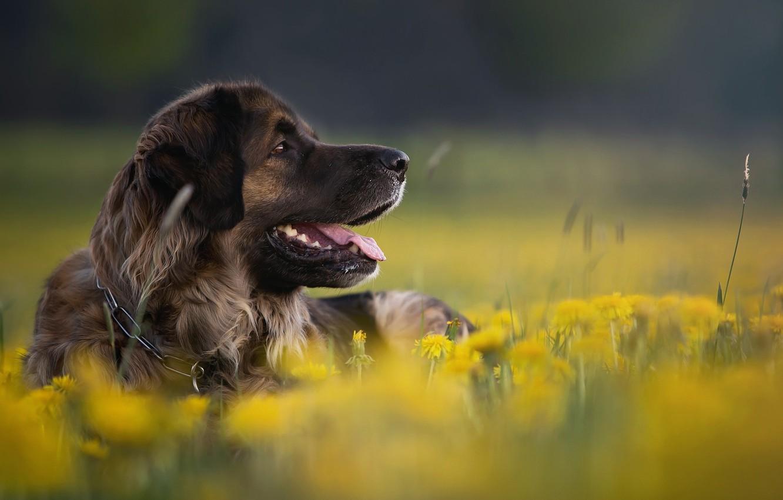 Фото обои цветы, природа, животное, собака, профиль, одуванчики, пёс