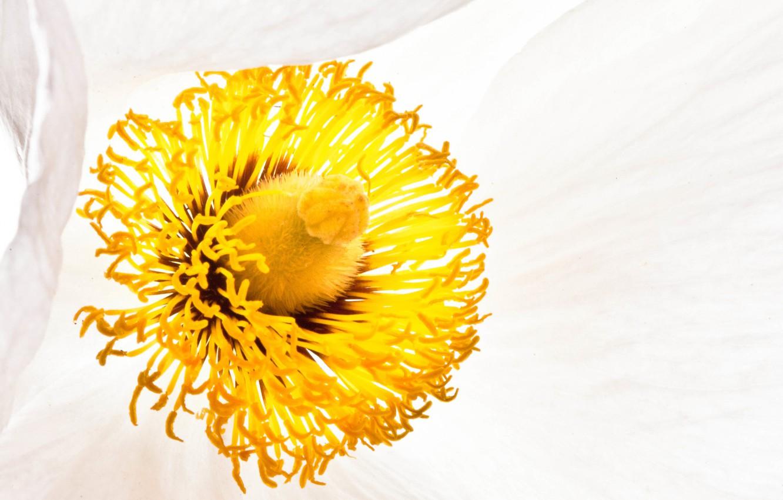 Фото обои цветок, мак, тычинки