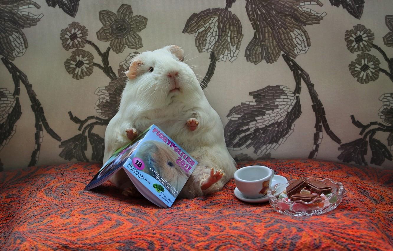 Фото обои животные, юмор, весна, май, сладости, журнал, композиция, морские свинки