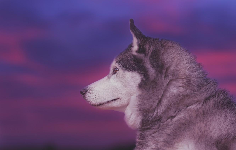 Фото обои морда, фон, портрет, собака, профиль, Хаски