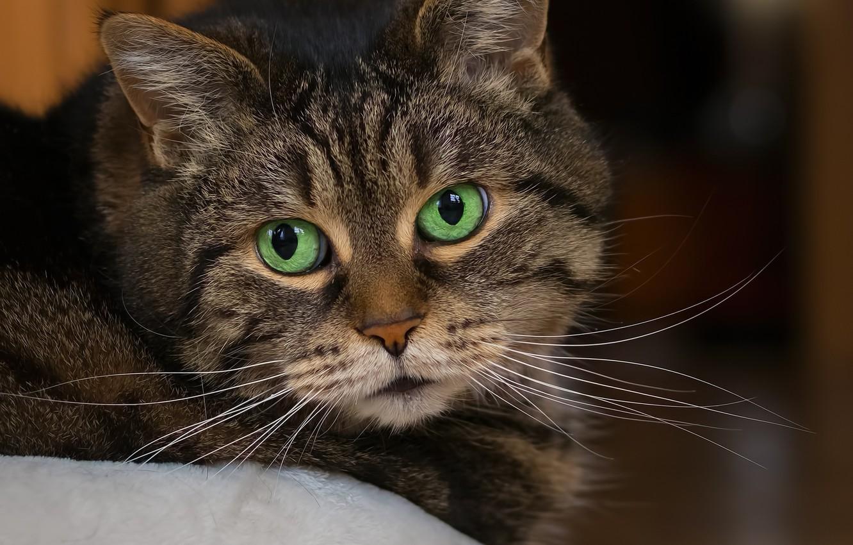 Фото обои кот, взгляд, портрет, полосатый