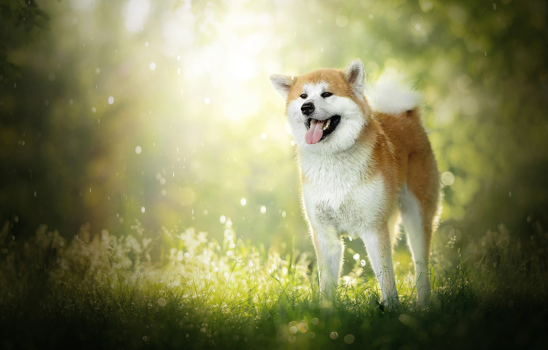 Фото обои собака, боке, Акита ину