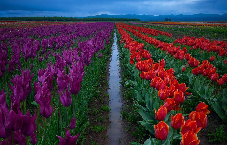 Фото обои поле, небо, вода, цветы, фиолетовые, после дождя, тюльпаны, красные, ряды, плантация, межа