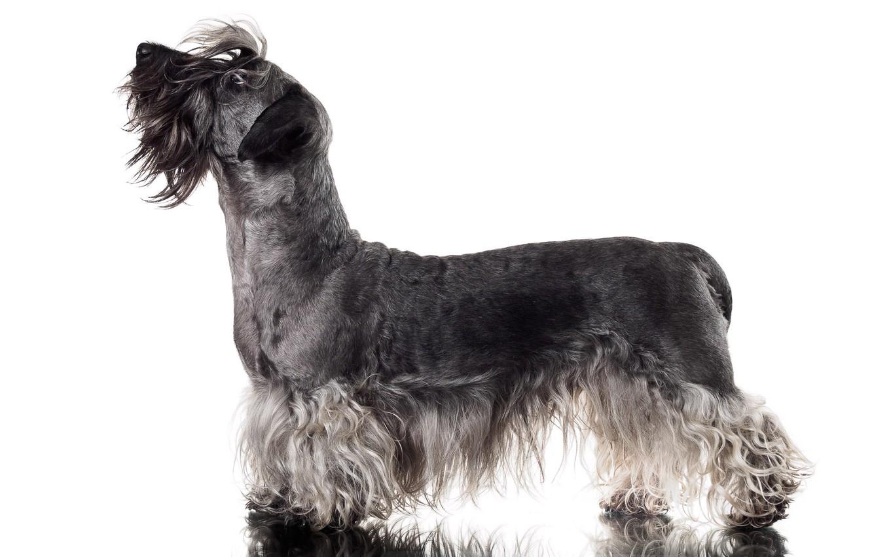 Фото обои фон, собака, Cesky Terrier