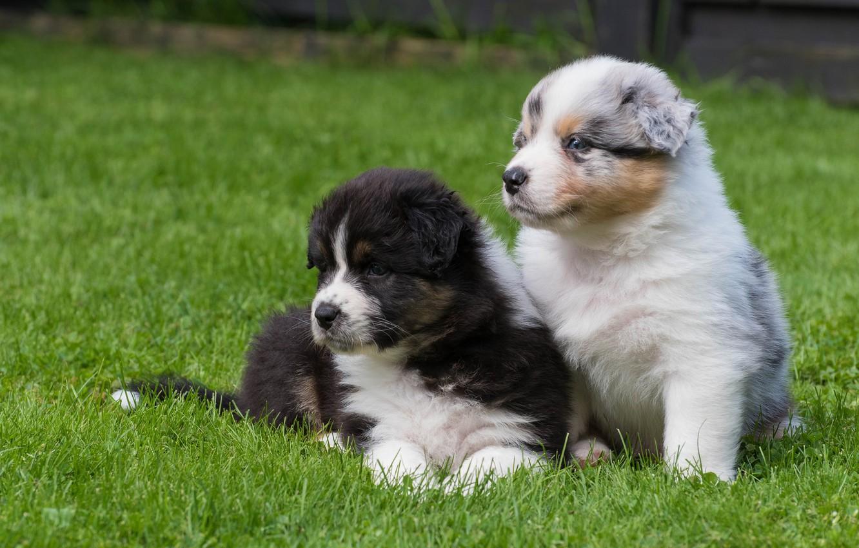 Фото обои собаки, щенки, малыши, парочка, Австралийская овчарка, Аусси