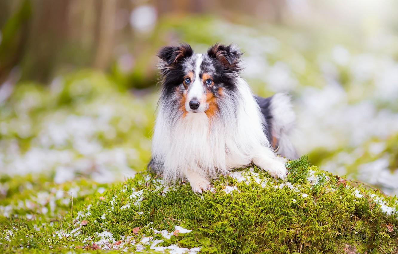 Фото обои взгляд, портрет, собака, боке, шелти, шетландская овчарка