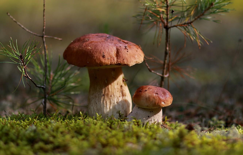 Фото обои осень, лес, листья, природа, грибы, мох, октябрь, подосиновики