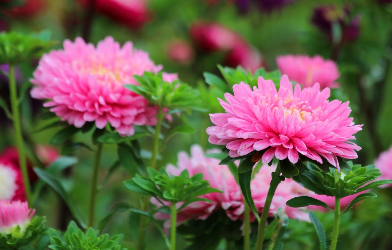 Фото обои лето, цветы, природа, красота, август, астра, цветение, дача