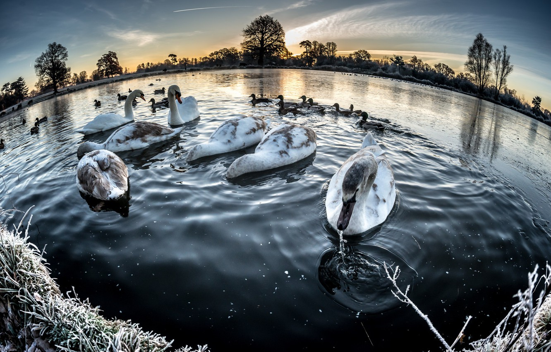 Фото обои зима, озеро, лебеди