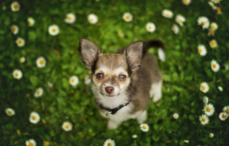 Фото обои взгляд, цветы, собака, мордашка, боке, пёсик, Чихуахуа, собачонка