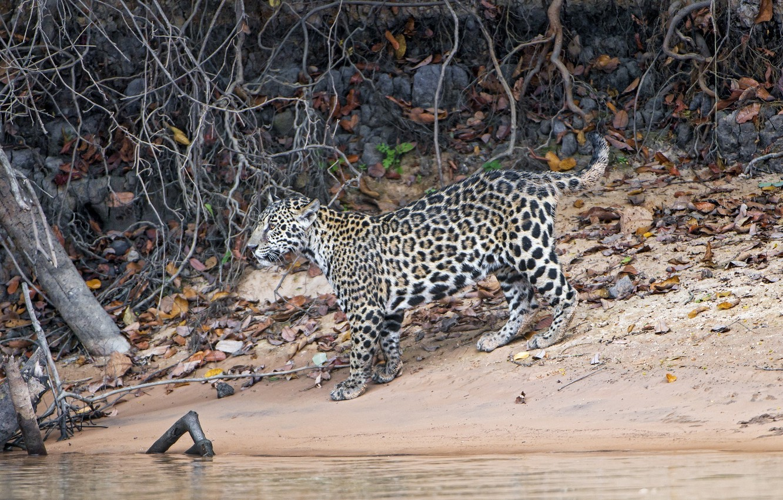 Фото обои хищник, ягуар, детёныш, дикая кошка