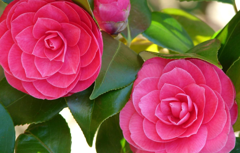 Фото обои зелень, цветы, свежесть, бутон, камелии, блеск листьев, ярко-розовые лепестки, Camellia Closeup