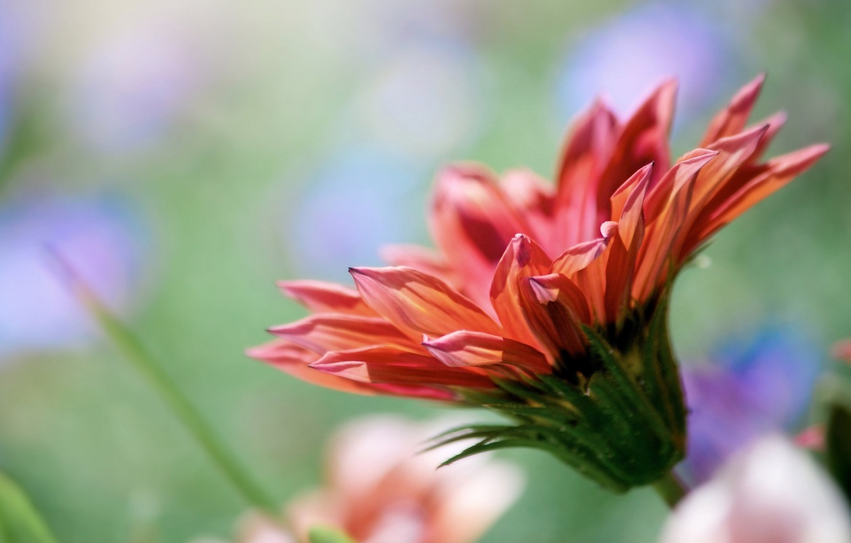 Фото обои цветок, природа, лепестки