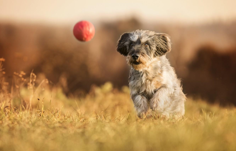 Фото обои собака, прогулка, мячик, боке