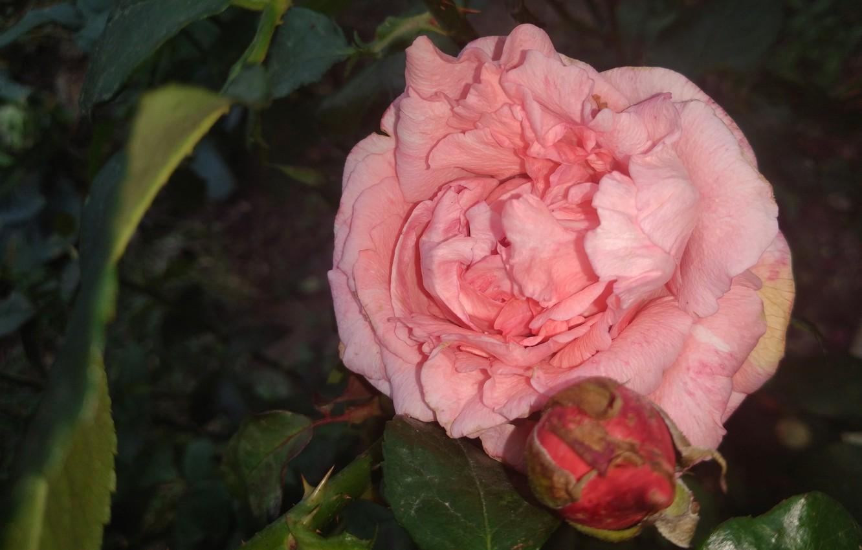 Фото обои осень, розовая, роза, Meduzanol ©