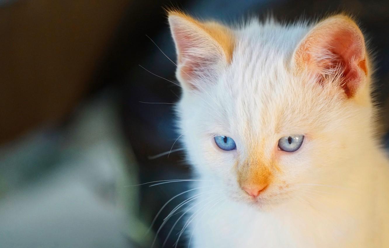 Фото обои кошка, взгляд, мордочка, голубые глаза, котейка