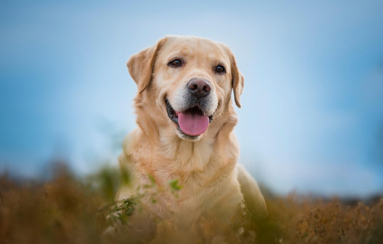 Фото обои язык, взгляд, морда, радость, портрет, собака, боке, Лабрадор-ретривер