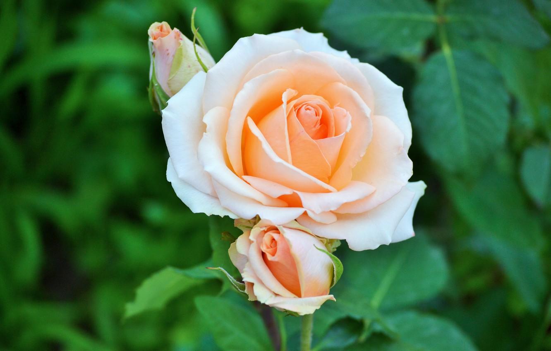Фото обои макро, роза, бутон