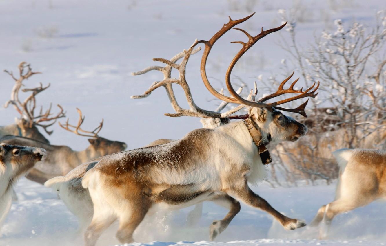 Фото обои зима, снег, Норвегия, рога, упряжка, северный олень, Карашоке, Финнмарк