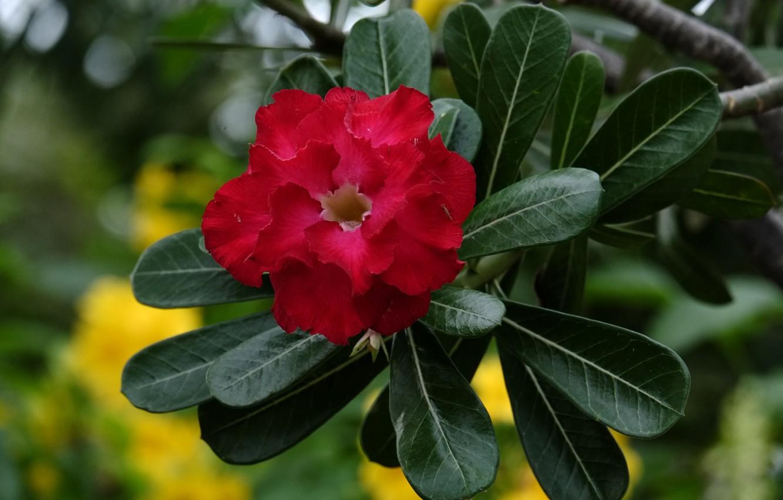 Фото обои цветы, цветение, адениум, пустынная роза