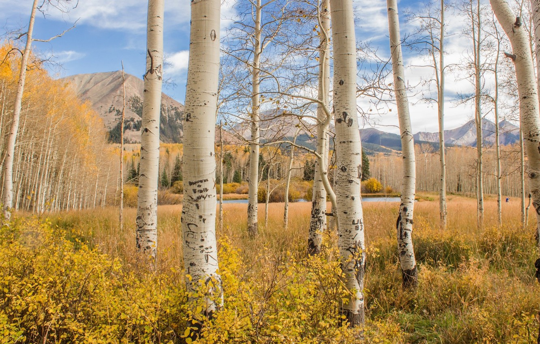 Фото обои осень, лес, берёзы
