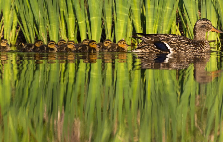Фото обои природа, птица, утята, утка