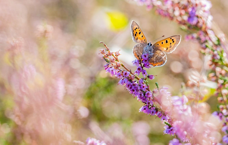 Фото обои макро, цветы, бабочка, боке, Червонец пятнистый
