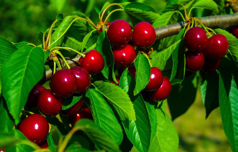 Фото обои summer, background, leaves, tree, cherry, cherry tree, wallpapper, cherry tree branch